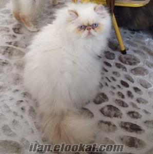 Sahibinden safkan sıfır burun iran persian erkek kedi
