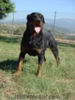 TEMEL İTAAT SALDIRI GARD EĞİTİMLİ ROTWEİLLER DOG ACADEMY KÖPEK ÇİFTLİĞİ