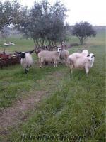 satılık koyun sakız sönmez