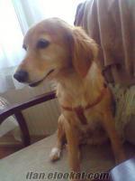 golden retriever - seter kırması köpeğimiz KAYIP