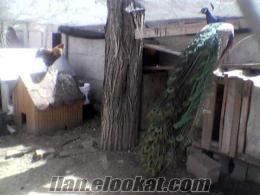 Sahibinden Satılık Mavi Tavus Kuşu