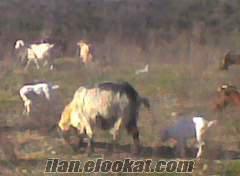saanen oğlaklı maltız keçiler
