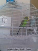 Bir çift damızlık muhabbet kuşu (yumurtlamaları yakın)