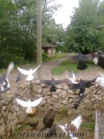 tokattan satılık güvercinler