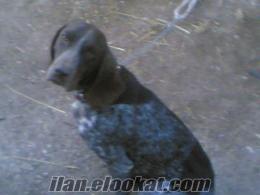 burdur tefenniden sahibinden satılık av köpekleri