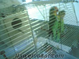 satılık cift cennet papaganı