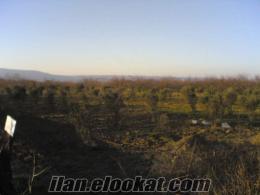 çanakkalede kepez-dardanos bitişiği sahibinden satılık 2.900 m.kare zeytinlik