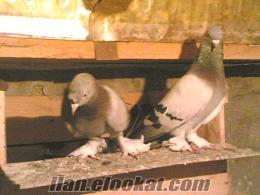 Trabzon Erdoğduda satılık güvercinler