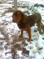 Yozgatda satılık av köpeği meraklısına