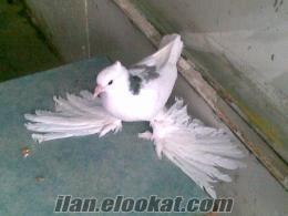 Güvercin Taklacı Malatya Paçalıları