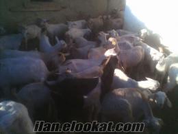 tekirdağ malkardan sahibinden satılık keçi