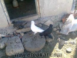 samsunda sahibinden satılık süs güvercinleri