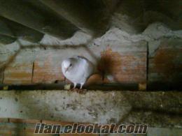 istanbulda satılık güvercin