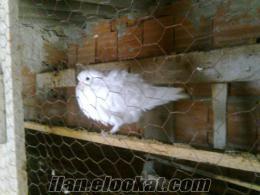 istanbulda acil satılık güvercin.
