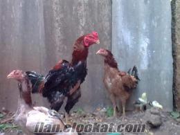hint horozu ve tavukları civcivleri