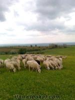 Satılık Merinos Koyun ( Tekirdağ )