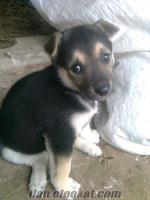 trabzonda sahibinden satılık kurt köpeği