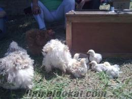süs tavuğu civcivleri