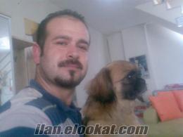 antalyada pekinez cinsi köpek yavruları satlıktır