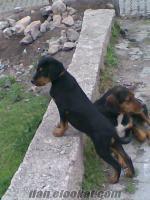 Taşovada satlık av köpeği