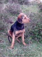 Balıkesir-Bandırma, da sahibinden satılık müthiş av köpekleri
