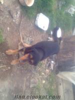 satılık av köpeği