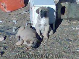 satılık sivas kangalı okancaglarhotmailcom