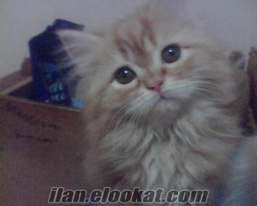 Zonguldak Çaycuma iran kedisi