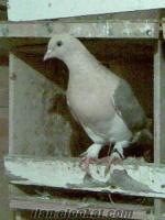 sahibinden satılık güvercinler