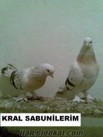 mardin güvercinleri satılık bendesatılık