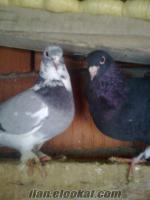 ıspartadan sahibinden satılık acillll postacı güvercin