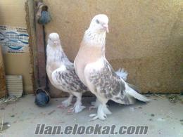 Diyarbakır Bağlarda miski güvercin