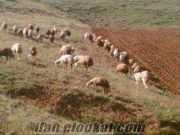 sivas tepeönü köyünde damızlık 26 adet koyun 5 adet koç satlıktır irtibat tel=05