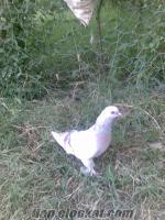Iğdırdan sahibinden satılık açık güvercin