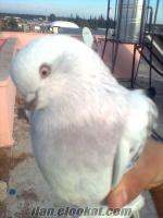 mavi şebap çakmaklı mardin oyunlu çift güvercin