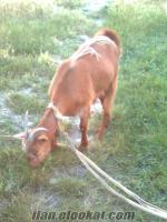 Afyonkarahisarda saanen keçisi