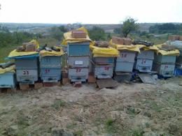 Satılık kafkas arısı