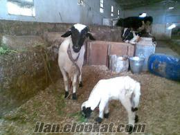 sahibinden satılık sakız koyunları