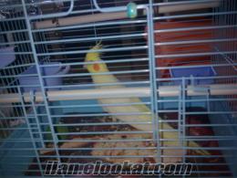 izmirde sahibinden satılık yavru erkek sultan papağan