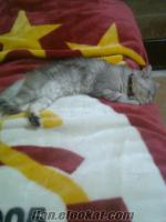 Ücretsiz iran-tekir kırması kedi