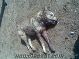KONYADAkendi çiftliğmde yetiştirdiğim kangal çoban köpkleri ve yavruları satlık