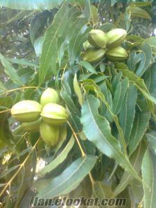 emiralemde satılık 130 dönüm ceviz bahçesi