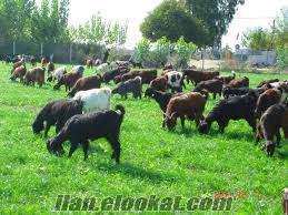 Ankarada sahibinden satılık ivesi koyunlar ve halep keçileri