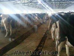 Satılık Holstein Buzalı İnekler Ve Gebe Düveler
