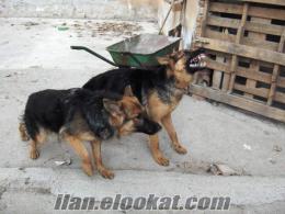 KARACA DOG ALMAN KURDU HAZIR BEKÇİ ALAN KORUMA KÖPEGİDİR
