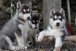 satılık sibirya husky yavruları