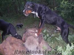 domuz tavşan avlayan satılık av köpekleri