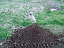 satılık keçi gübresi fiyatta anlaşılır