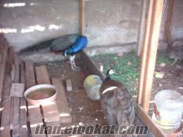denizlide sahibinden satılık bir çift tavus kuşu