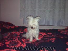 kırşehirde sahibinden satılık terier cinsi eğitimli köpek